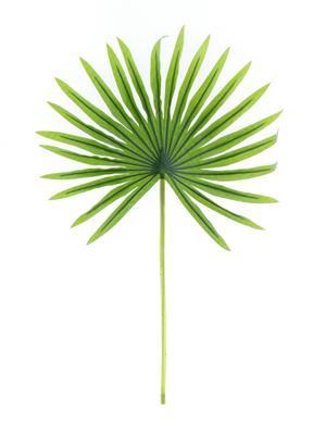 <h4>Af Fan Palm Green 50cm Rt</h4>
