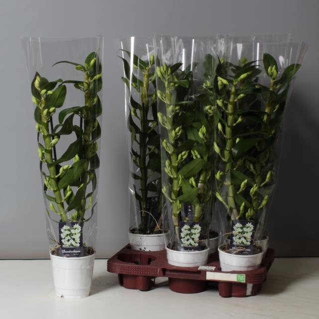 <h4>Dendrobium Nobile Apollon 12Ø 60cm 2stem 20Flow</h4>