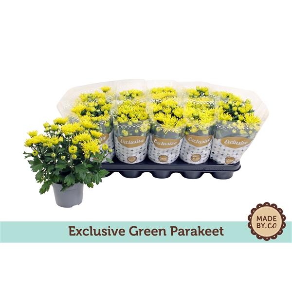 <h4>Chrysanthemum Green Parakeet</h4>
