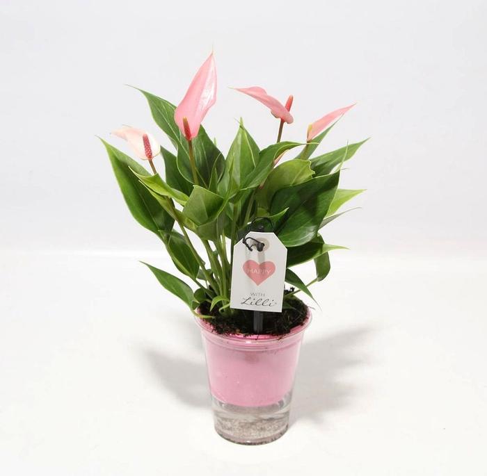 <h4>Anthurium Lilli</h4>