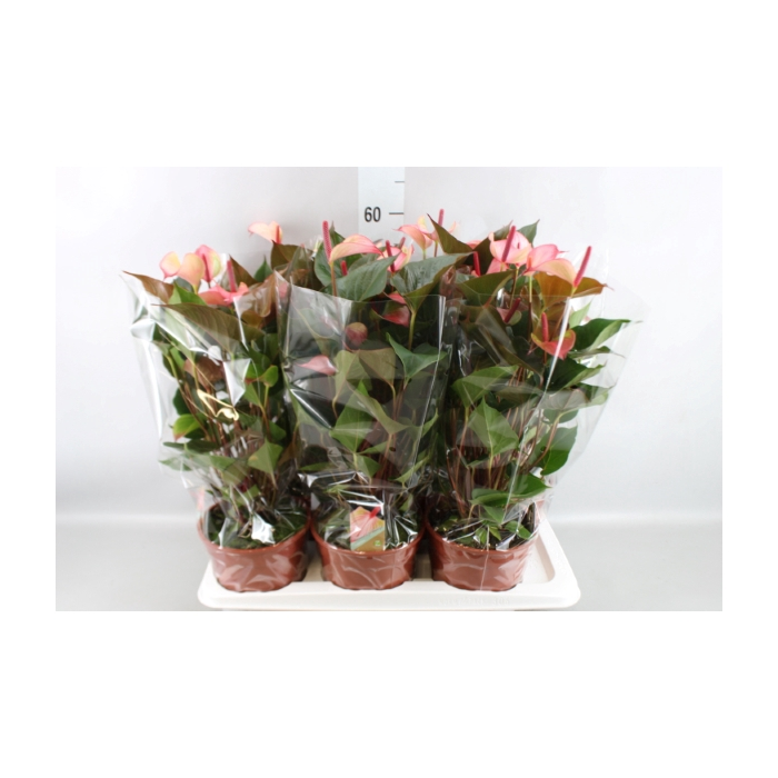 <h4>Anthurium  'Pr. Amalia Hot Lips''</h4>