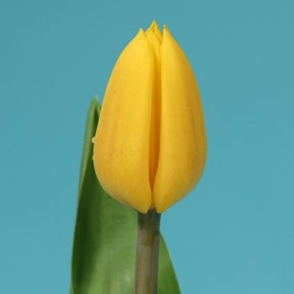 <h4>Tulip single Yellow Flight</h4>