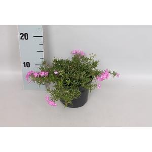 vaste planten 12 cm Phlox fabulous rose