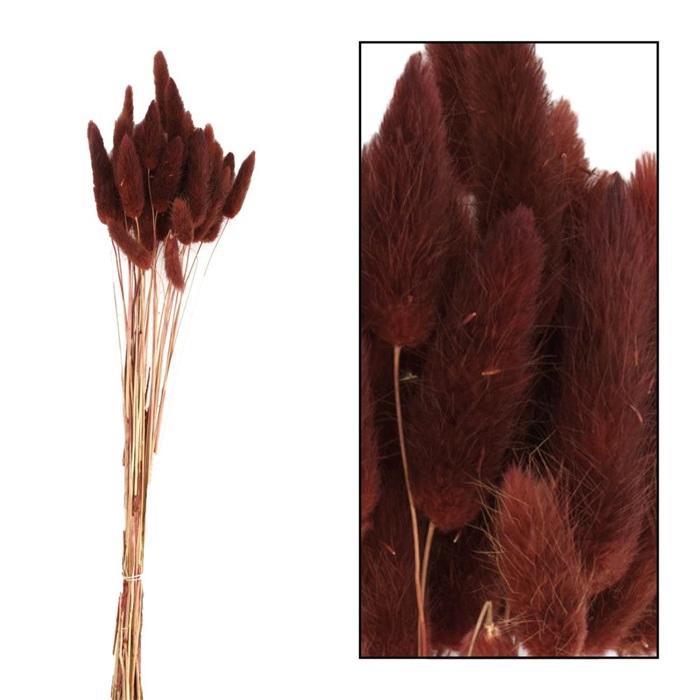 <h4>DRIED FLOWERS - LAGURUS 35PCS BROWN 50CM</h4>