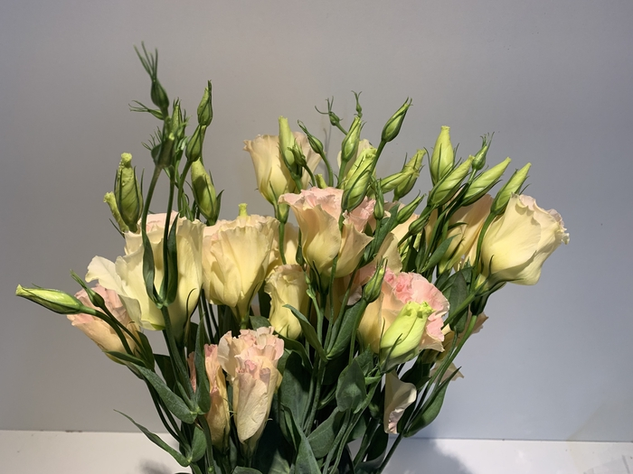<h4>Lisianthus Champ (Farm Fresh) p/bunch)</h4>
