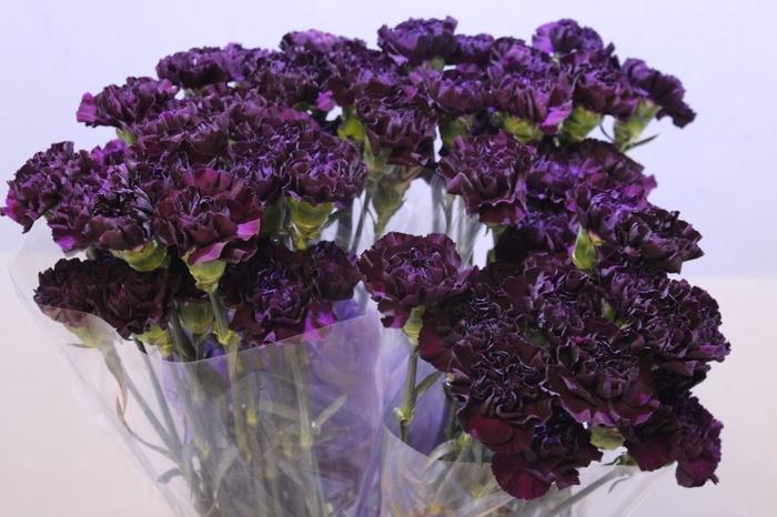 <h4>Dianthus Florigene Moonvista</h4>