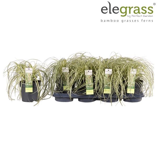 <h4>Carex hachijoensis Evergold - Elegrass</h4>