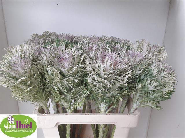 <h4>Brassica Crane King</h4>