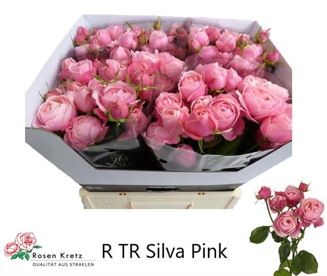 <h4>R TR SILVA PINK+</h4>