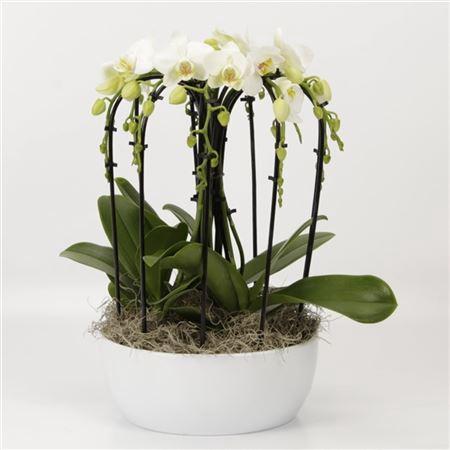 <h4>Phalaenopsis Schaal Sena Wit Met Novaboga Wit</h4>