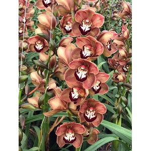 Cymbidium 12/15 Brown Bl pst
