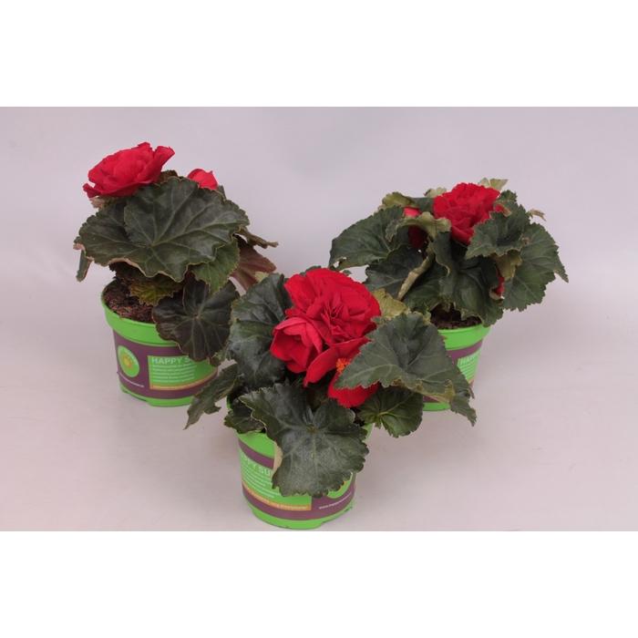 <h4>Begonia Tub. Nonstop Red</h4>