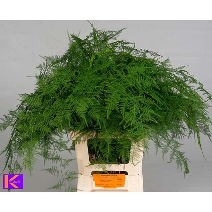 <h4>Asparagus Setac Extra V</h4>