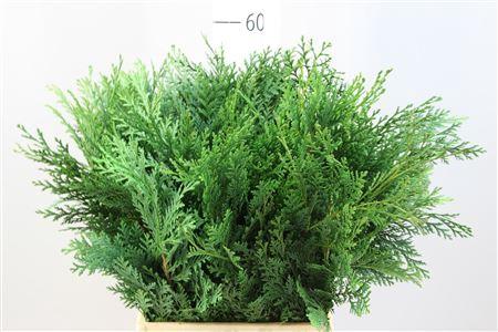 <h4>Conifeer Fust Groen</h4>