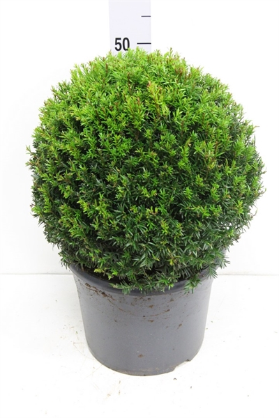 <h4>Taxus baccata</h4>