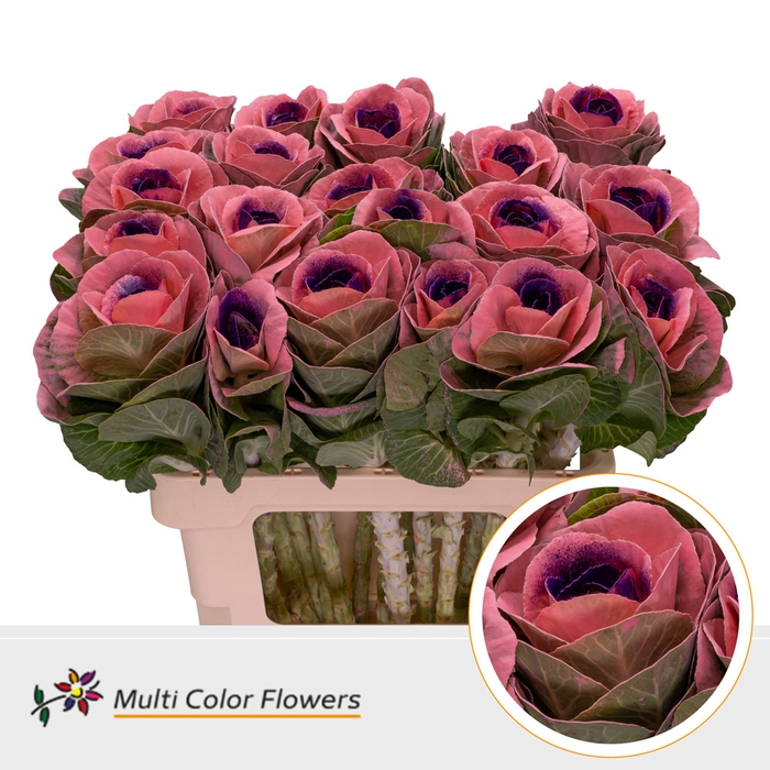 <h4>Brassica  Rose Hart Lila donker</h4>