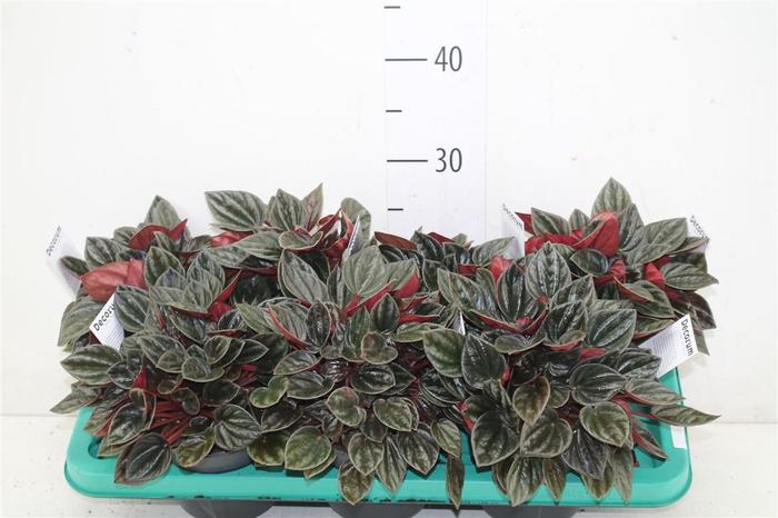 <h4>Peperomia Brasilia</h4>