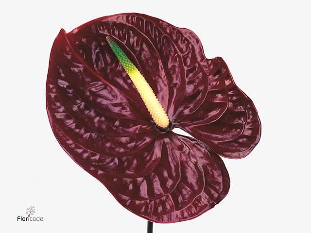 <h4>Anthurium A Tropic Night</h4>