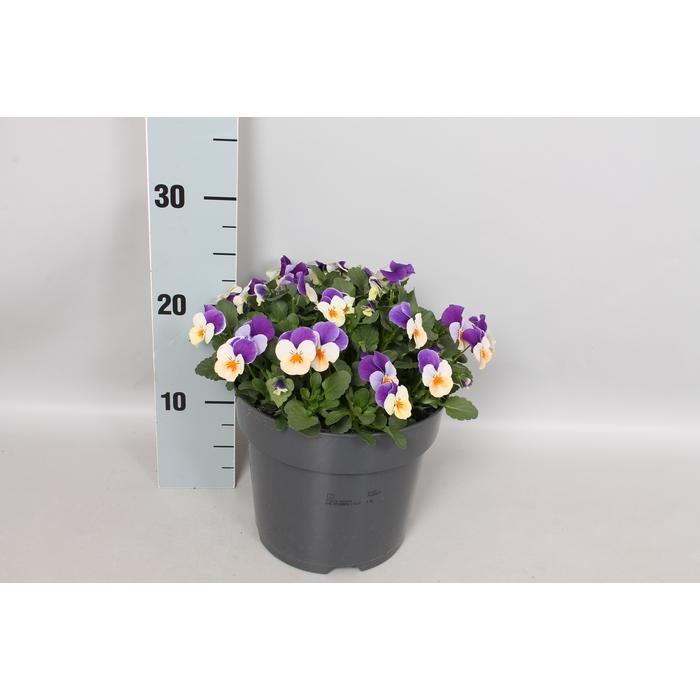 <h4>Viola cornuta 19 cm Duet</h4>