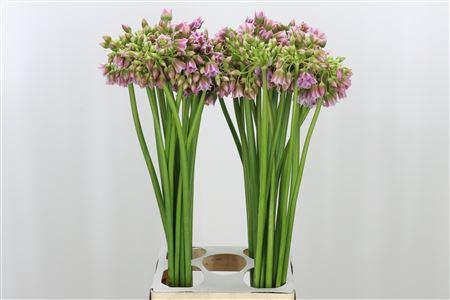 <h4>Allium Rosy Bells</h4>
