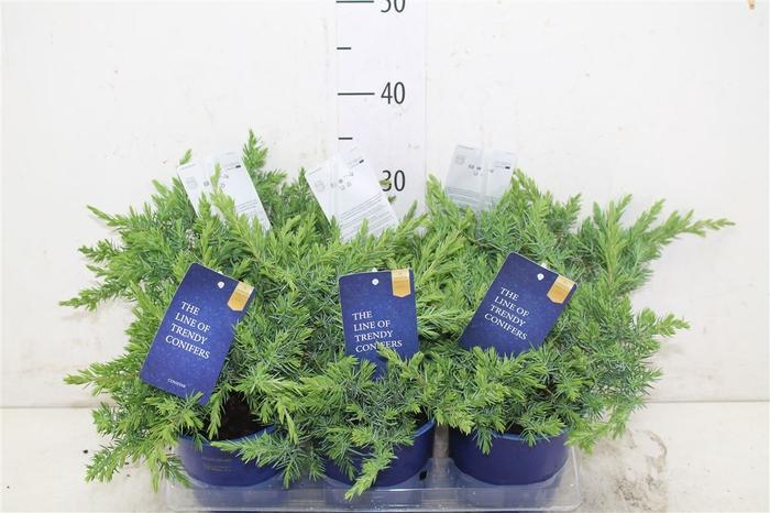 <h4>Juniperus Conferta 'schlager'</h4>