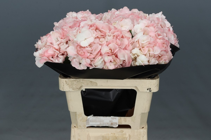 <h4>Hydrangea Pink</h4>