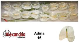 <h4>Anthurium Adina White</h4>