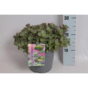vaste planten 19 cm  Sedum spathulifolium Cape Blanco