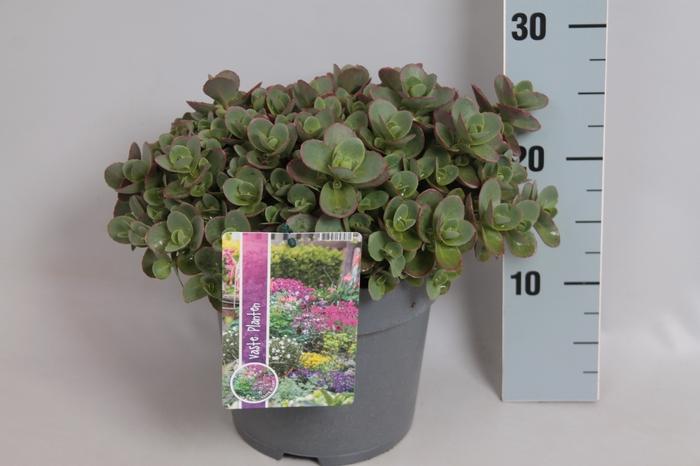 vaste planten 19 cm  Sedum spathulifolium Purpureum