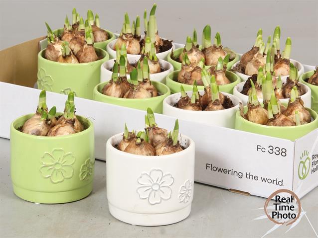 <h4>Arr Narcissus stenen pot groen/wit</h4>