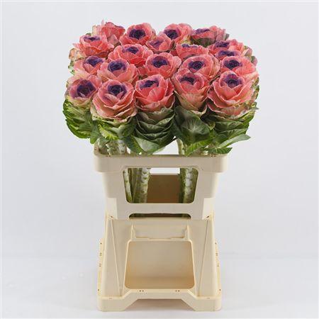 <h4>Brassica Rose-paars</h4>