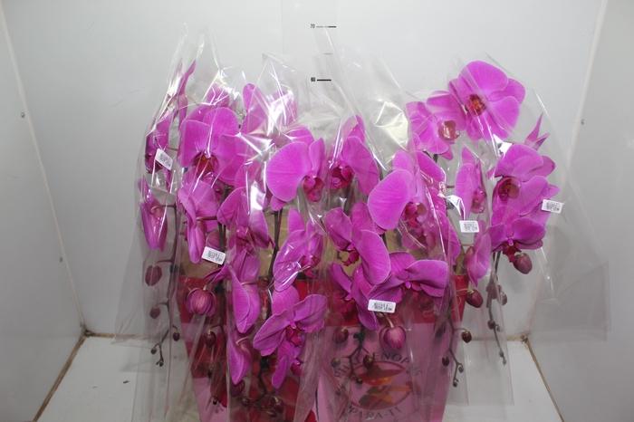 <h4>PHALAENOPSIS CASCATA ESPECIAL P15 PINK MIN 11 FLS</h4>