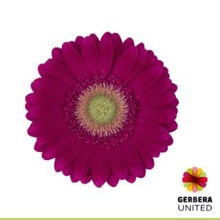 <h4>Gerbera Ambassador</h4>