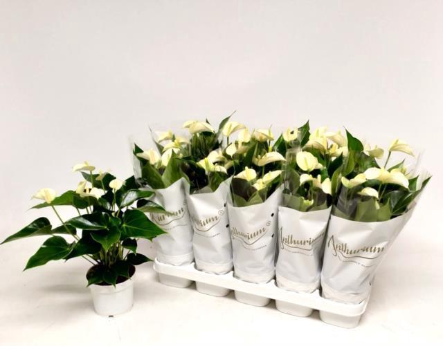 <h4>Anthurium White Champion 12Ø 45cm 6+ kwiatów</h4>