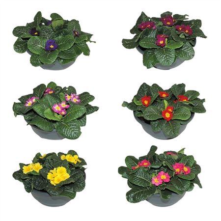 <h4>Primula Acaulis Gemengd Schaal</h4>
