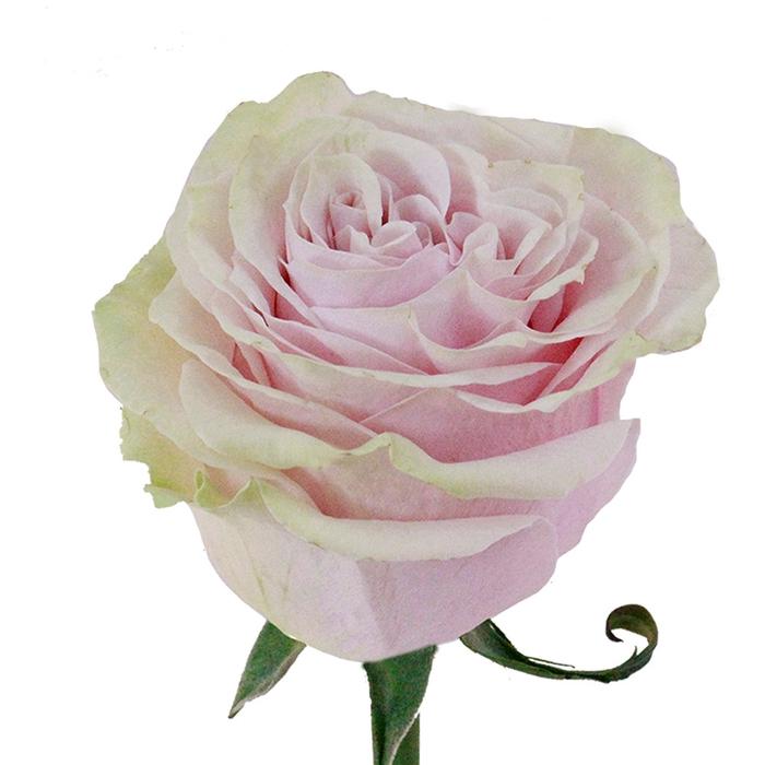 <h4>Rosa gr Pink mondial (Nevado)</h4>