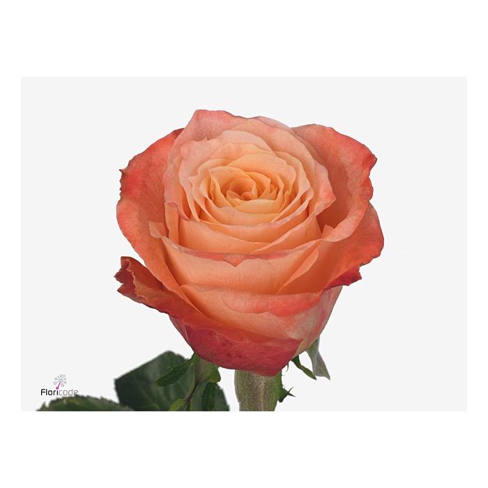 <h4>Rosa Gr. Seville</h4>