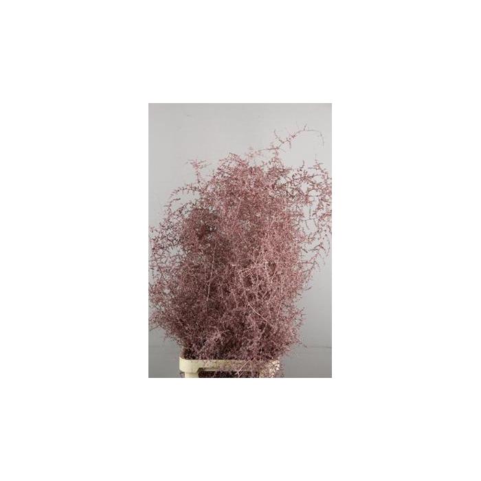 <h4>Asparagus Selvatico Ant.rose+g</h4>