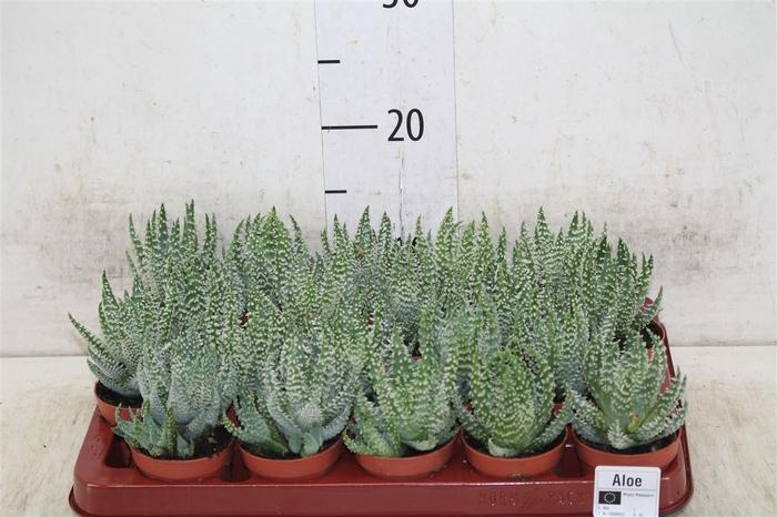 <h4>Aloe Humilis 6,5 Rocks</h4>
