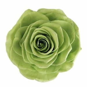 Rose Magna Prairie Green