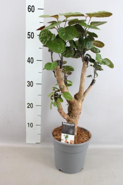 <h4>Polyscias scutellaria 'Fabian'</h4>