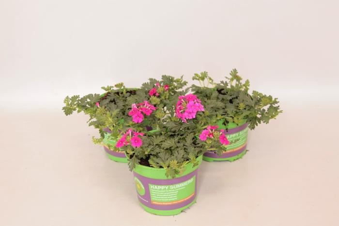 <h4>Verbena Magelana Hot Rose</h4>