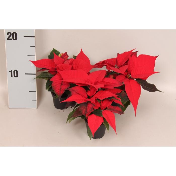 <h4>Poinsettia 6  cm Mira® Red 2/4 koppen</h4>
