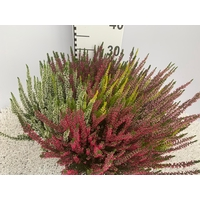 <h4>Calluna vulgaris Beauty Lady® 'High Five'</h4>