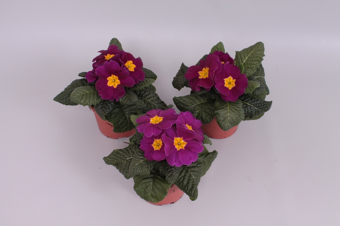 <h4>Primula acaulis Paars</h4>