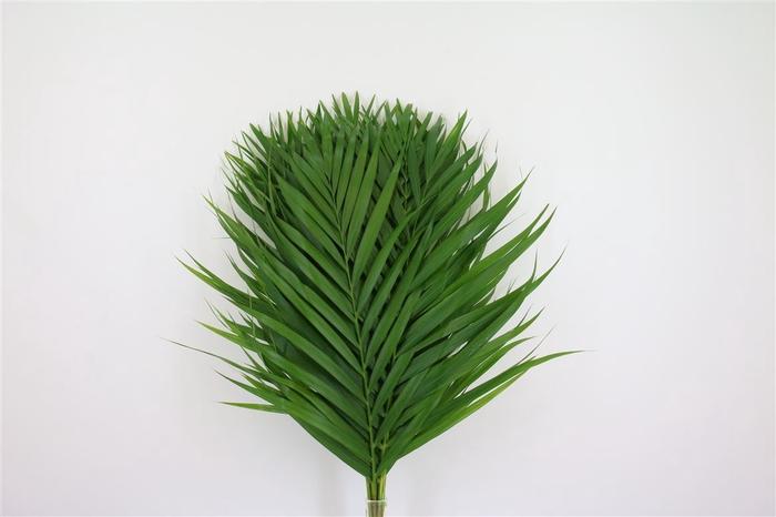 <h4>Cane Palm 60cm</h4>