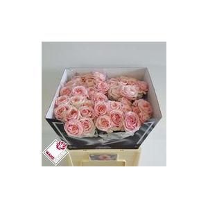 Rose jardím Ang.Rom.Sweet
