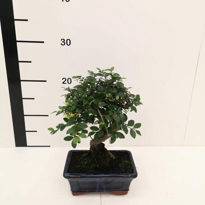 <h4>Bonsai Zelkova parvifolia 5 años</h4>