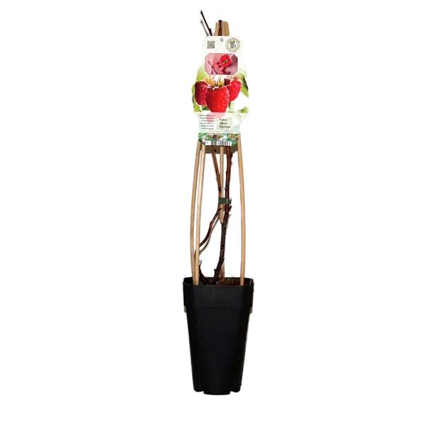 <h4>Rubus idaeus tulameen</h4>