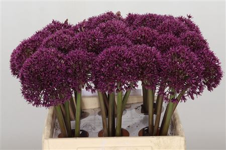 <h4>Allium Ostara</h4>